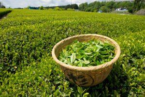green tea leaves